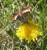 painted lady butterfly on common dandelion