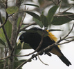 yellow rumped cacique