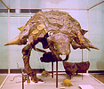Front view of the mounted skeleton of Edmontonia