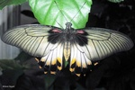Papilio lowi butterfly