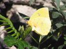 Cloudless Sulphur laying eggs on Senna