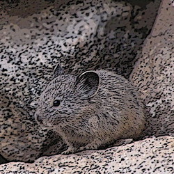 life of a pika