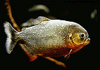 Red-bellied piranha, Pygocentrus nattereri