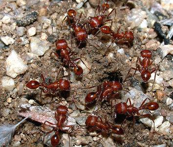 Harvester Ants Harvester ants  Pogonomyrmex