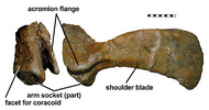 Shoulder girdle of Hylaeosaurus