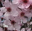 Purple Leaf Plum Flower (Prunus cerasifera)