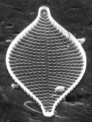 clade I araphid pennate diatoms