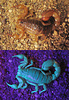 Stripe-tailed scorpion (Vaejovis spinigerus) under UV light