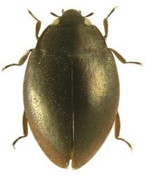Hydroscaphidae