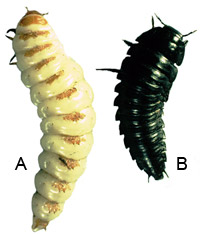 Larvae of A) Nicrophorus sp. B) Silphinae gen. sp.