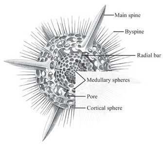 polycystine radiolarians well labelled diagram of rice plant