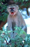 Vervet monkey (Catarrhini)
