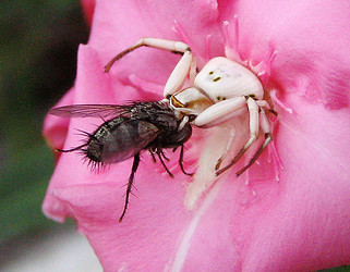 Crab spider eating fly, Arizona
