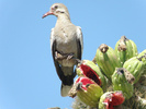 White-winged dove, Zenaida asiatica, eating Saguaro fruit