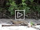 lizard, staying still, then darting very quickly into leafy area.