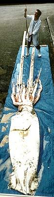 calamaretis